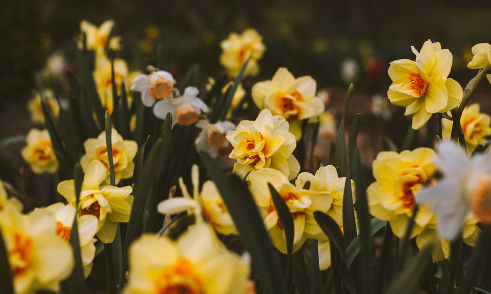 Daffodils Pictures Download Free Images On Unsplash