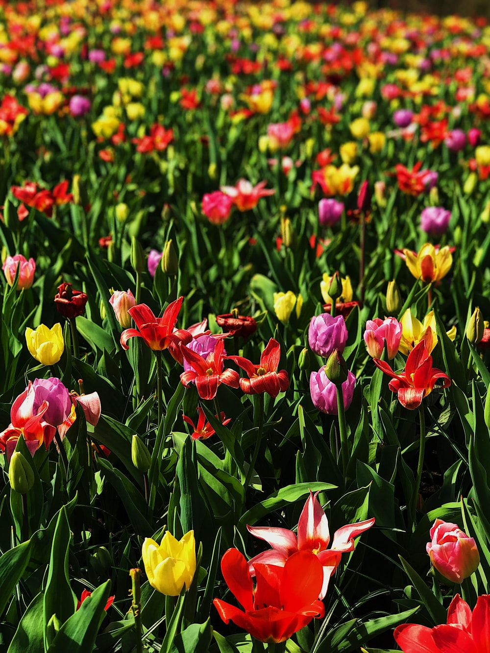 bed of red, pink, and yellow petaled flowers