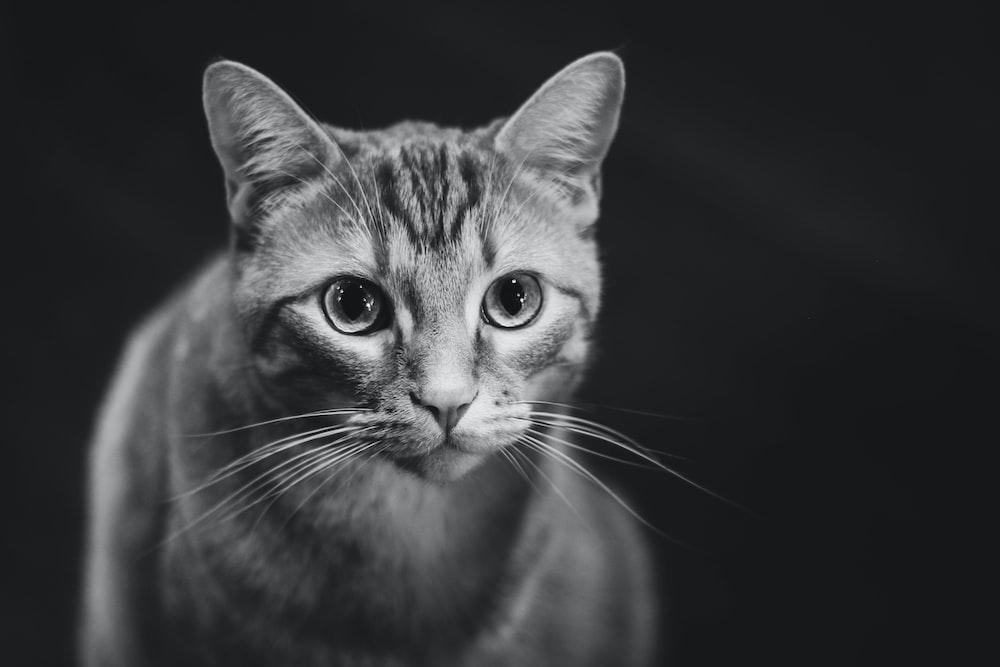 focus photo of gray cat