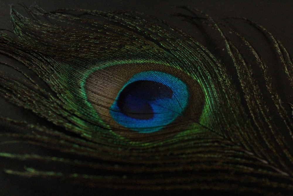 green and blue peacock feather