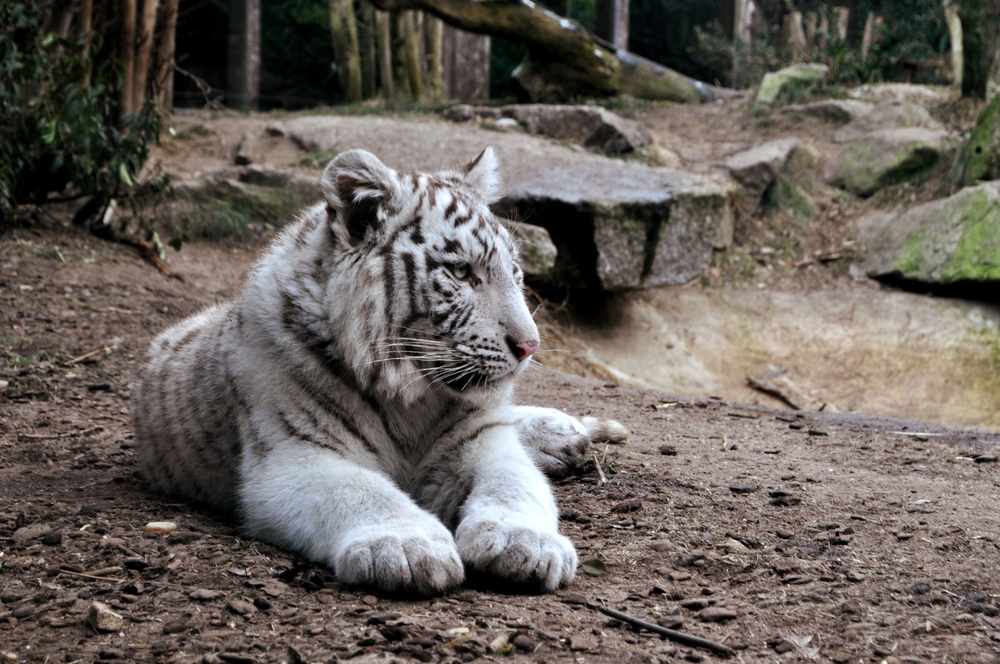 white tiger on brown ground
