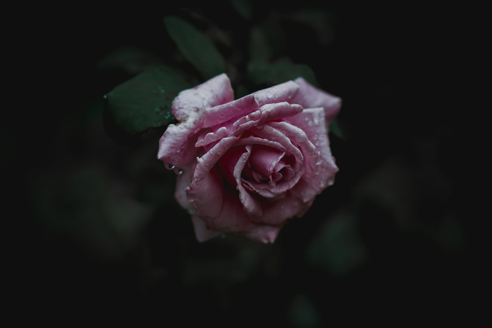 closeup photo of pink rose on bloom