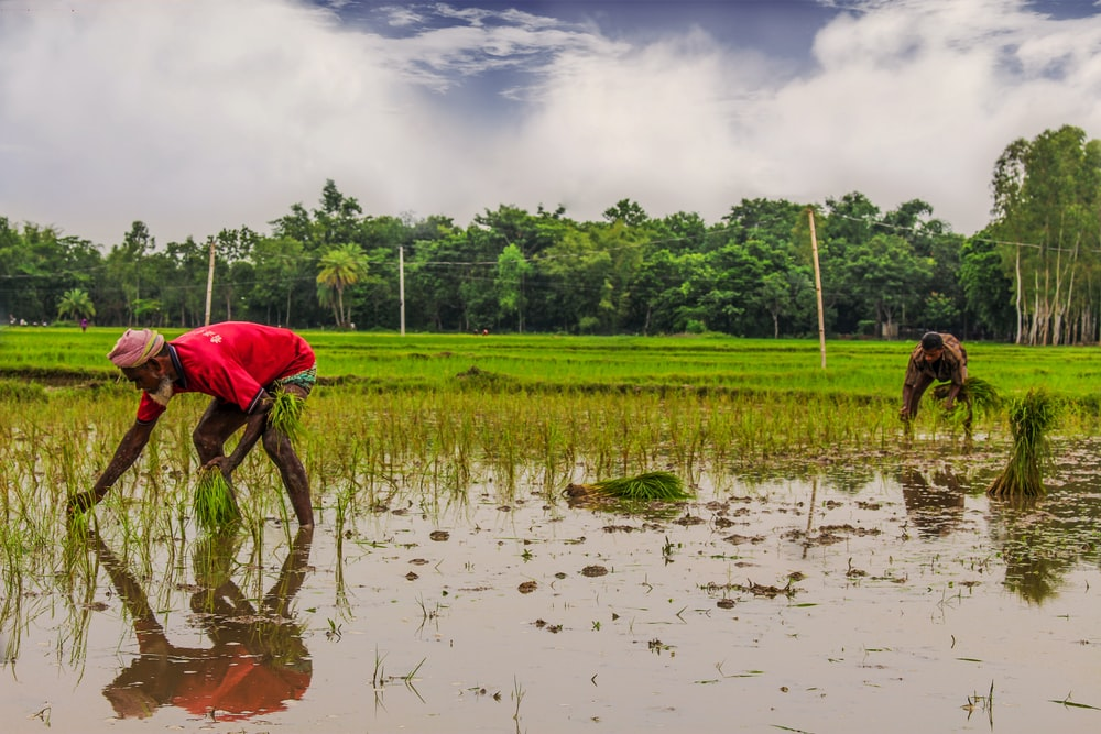 two person planting rice on field during daytime