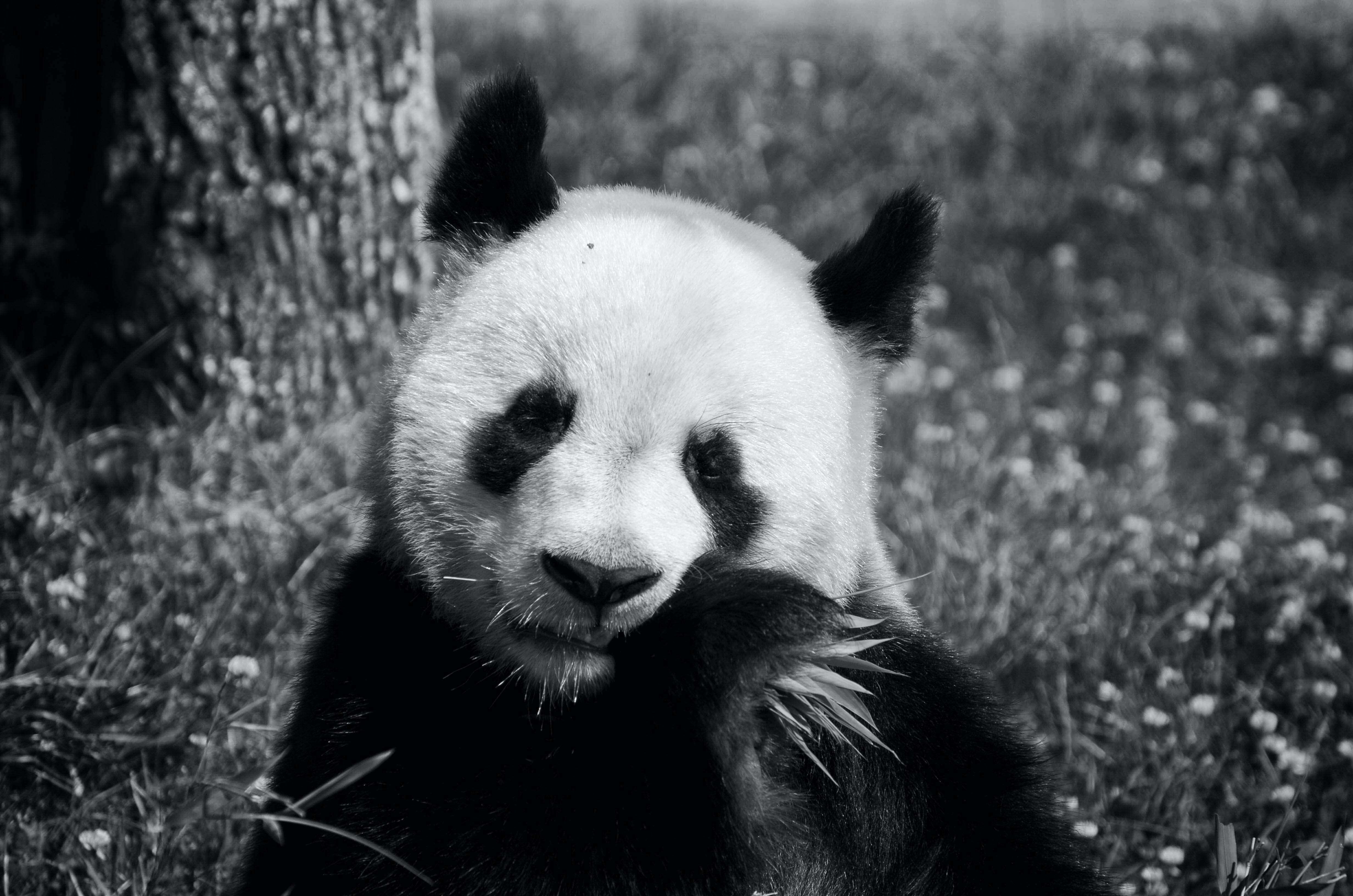 panda bear eating grass near tree
