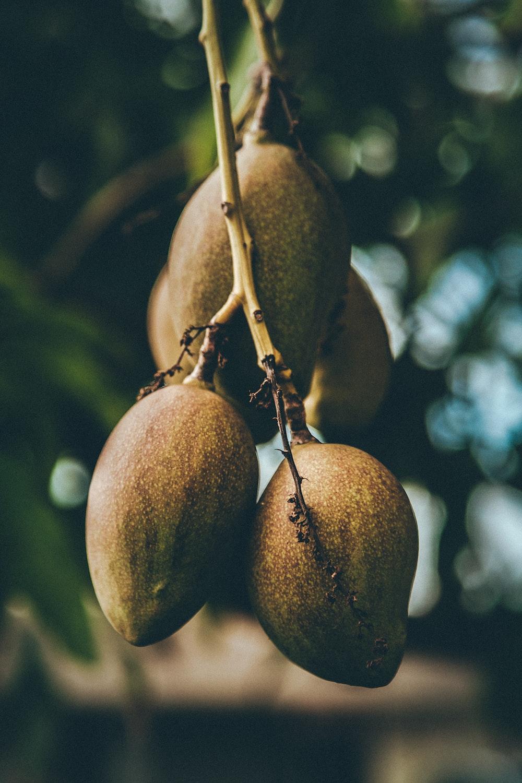 mango fruits