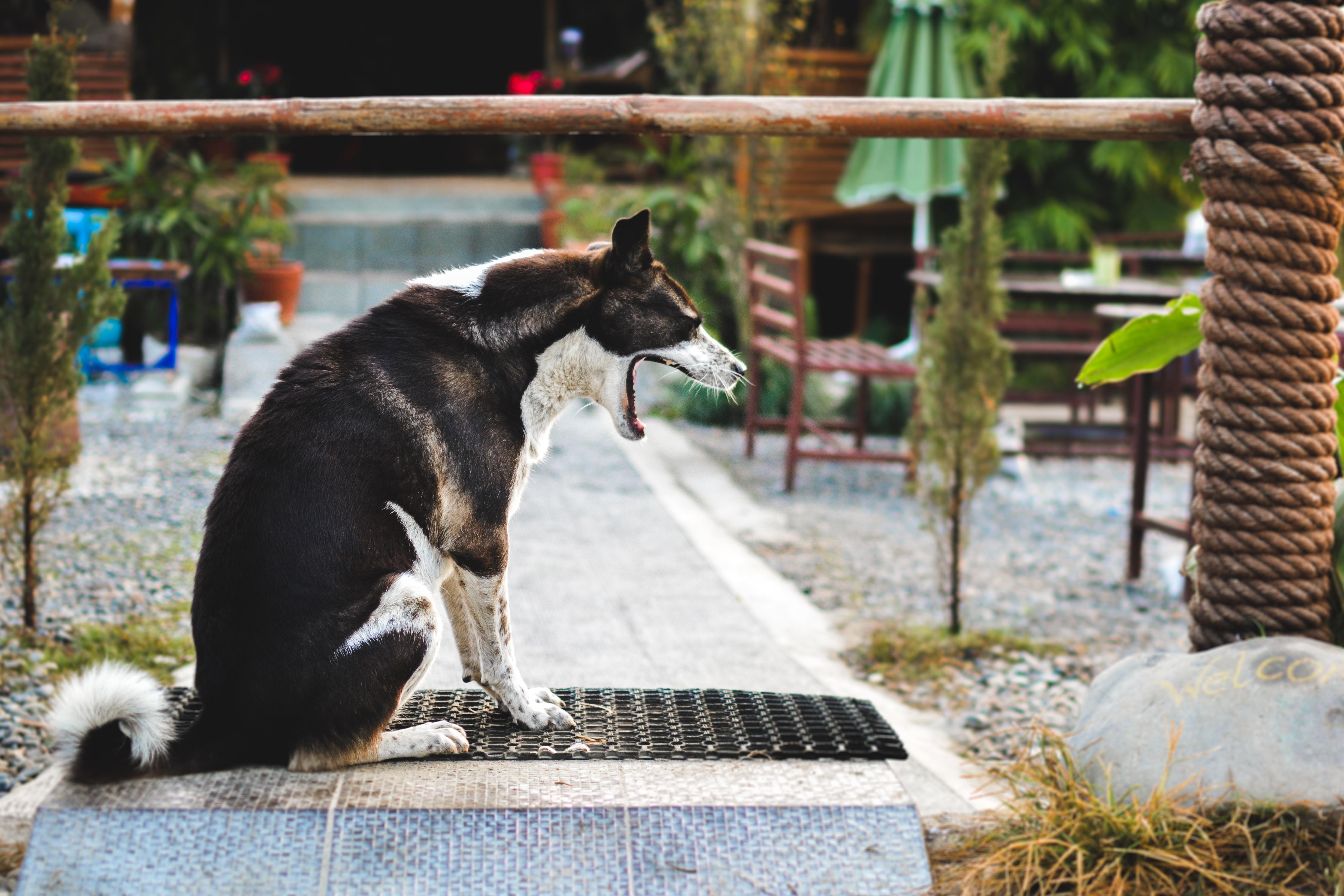 black and white dog yawning while sitting on black mat during daytime