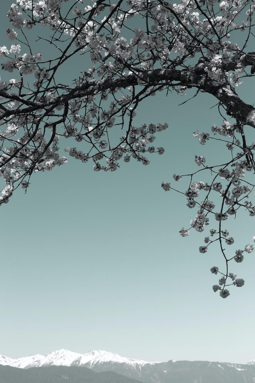 cherry blossom during winter season