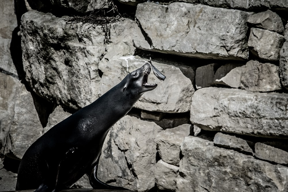 sea lion about to catch fish