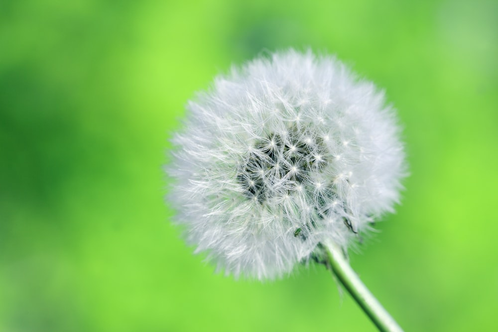 close-up photography of white dandelion