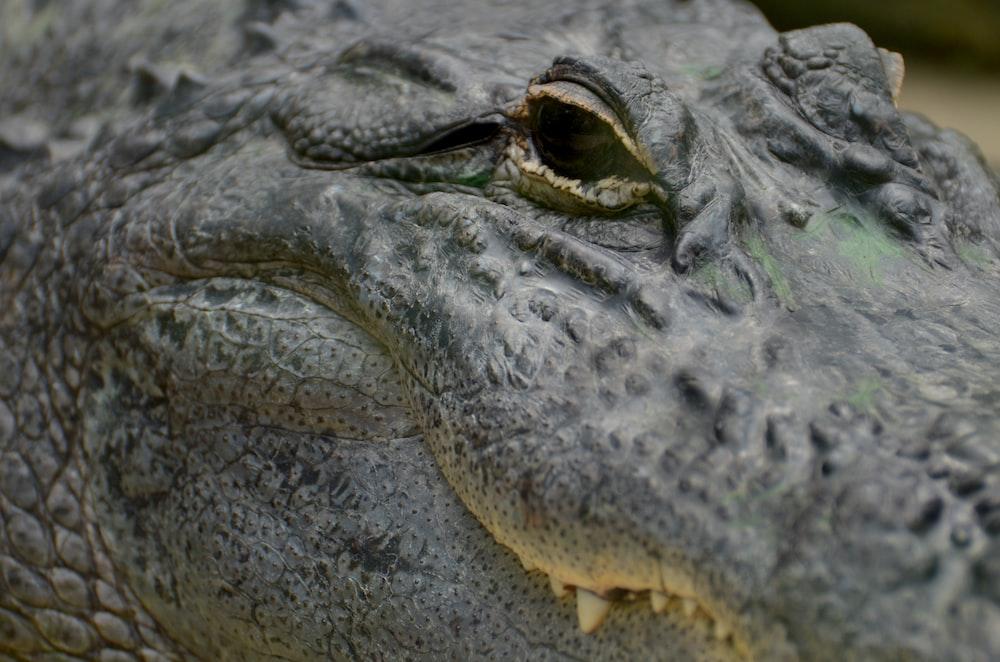 focus photo of alligator