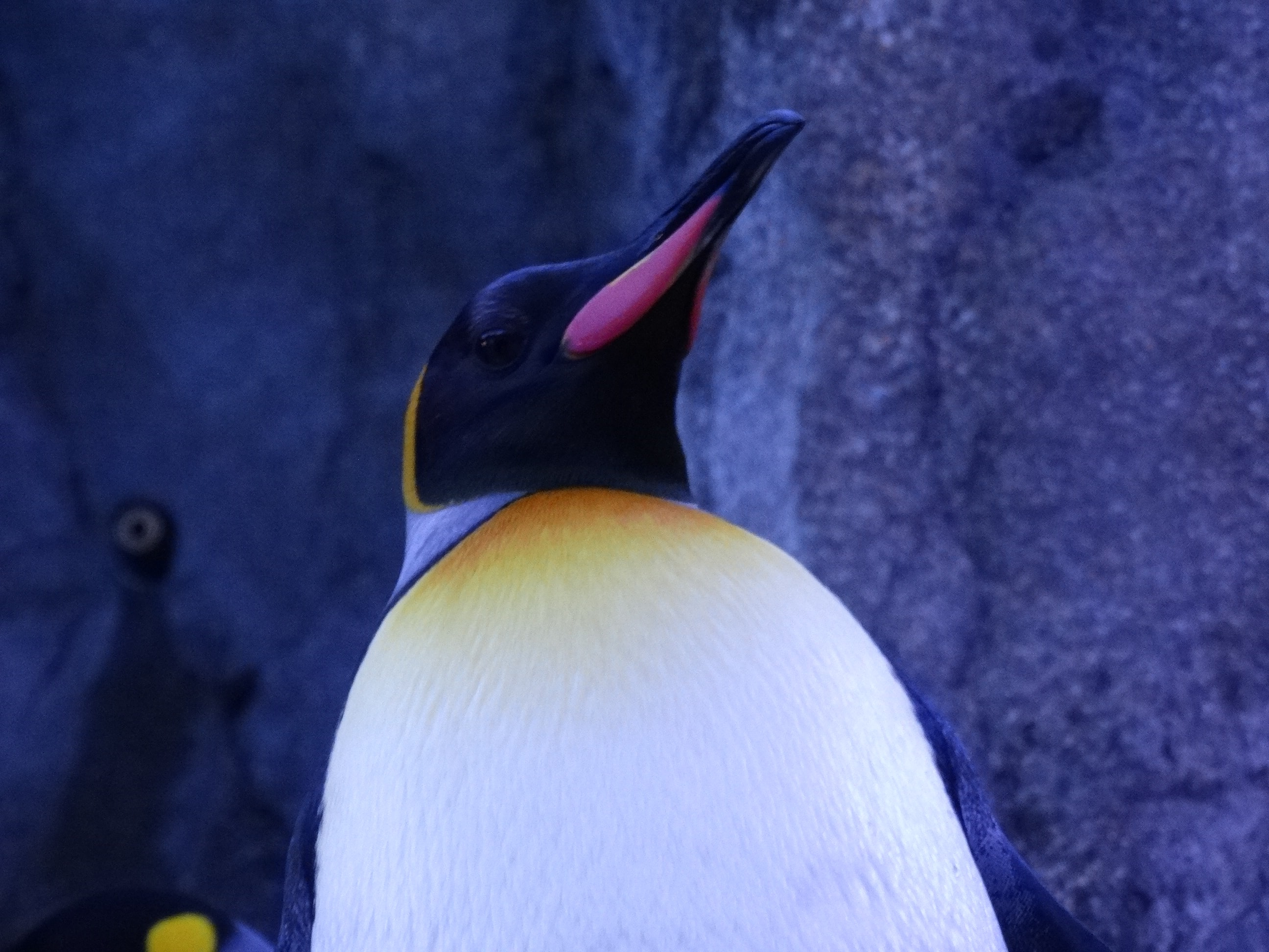 closeup photo of black and white penguin