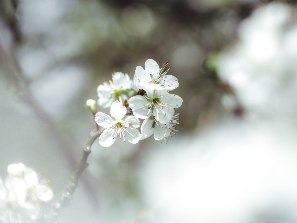 white cherry blossom flower close up photography