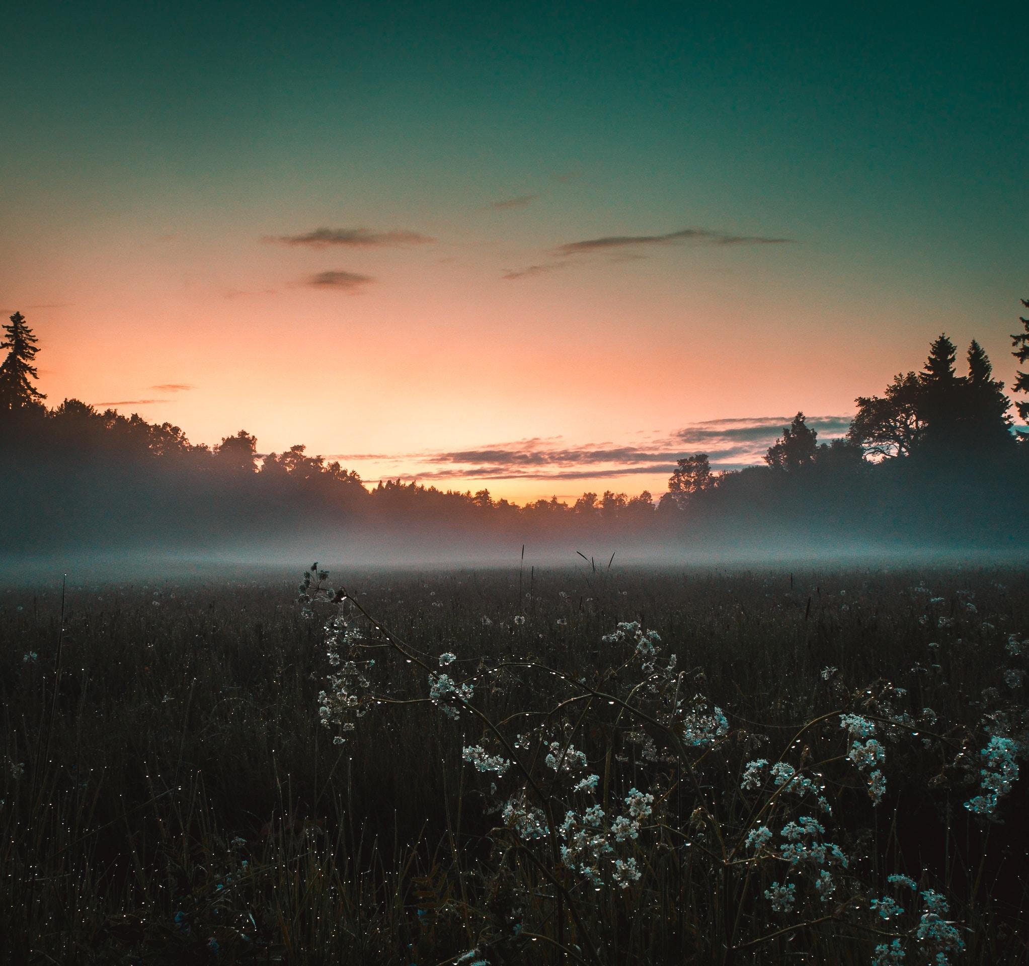 white flower field near green grass field under blue sky at sunset