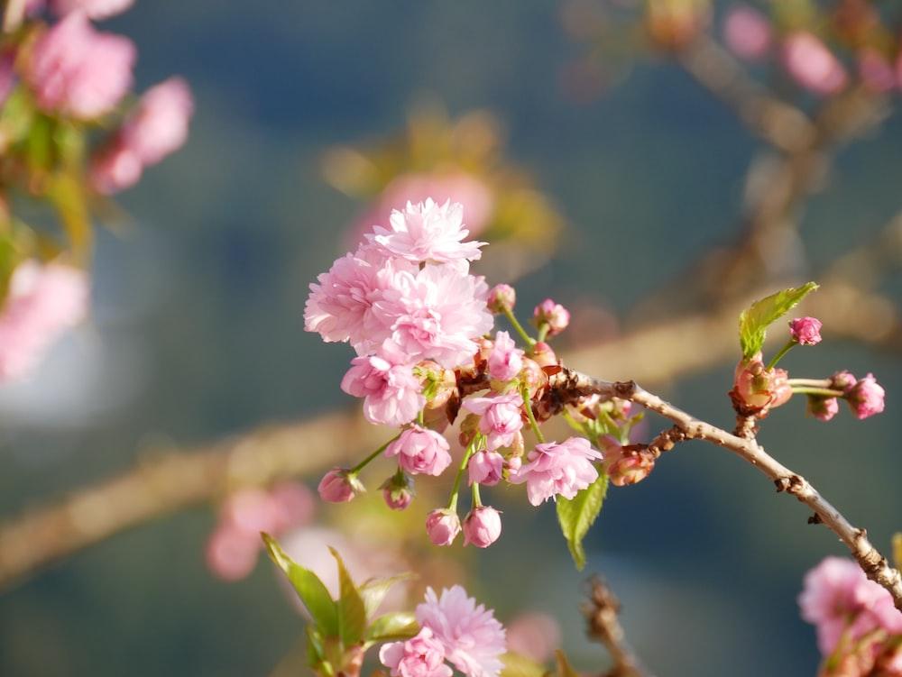 Pink sakura flower pictures download free images on unsplash pink flowers mightylinksfo