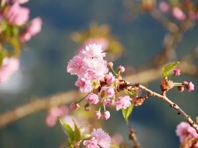 pink flowers sakura teams background