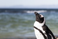 black and white penguin on focus photo