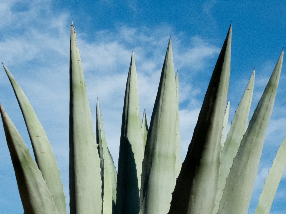 green spiky leaf plant