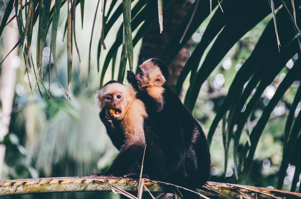 two monkeys eating on branch