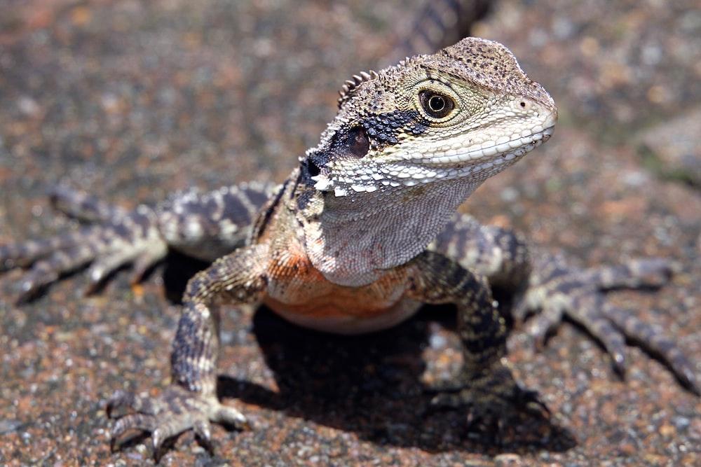gray lizard on black concrete floor
