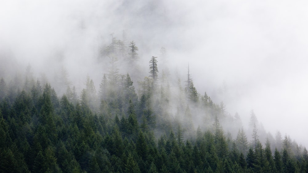photography of green pine trees covered by fogs