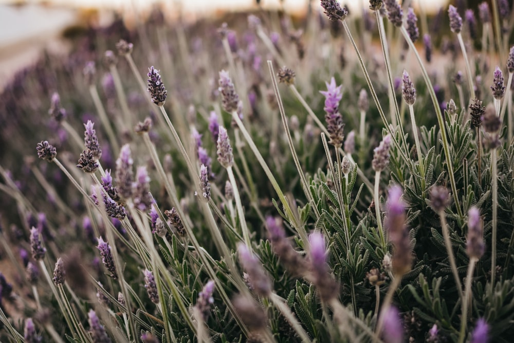 selective focus photography of field of purple flowers
