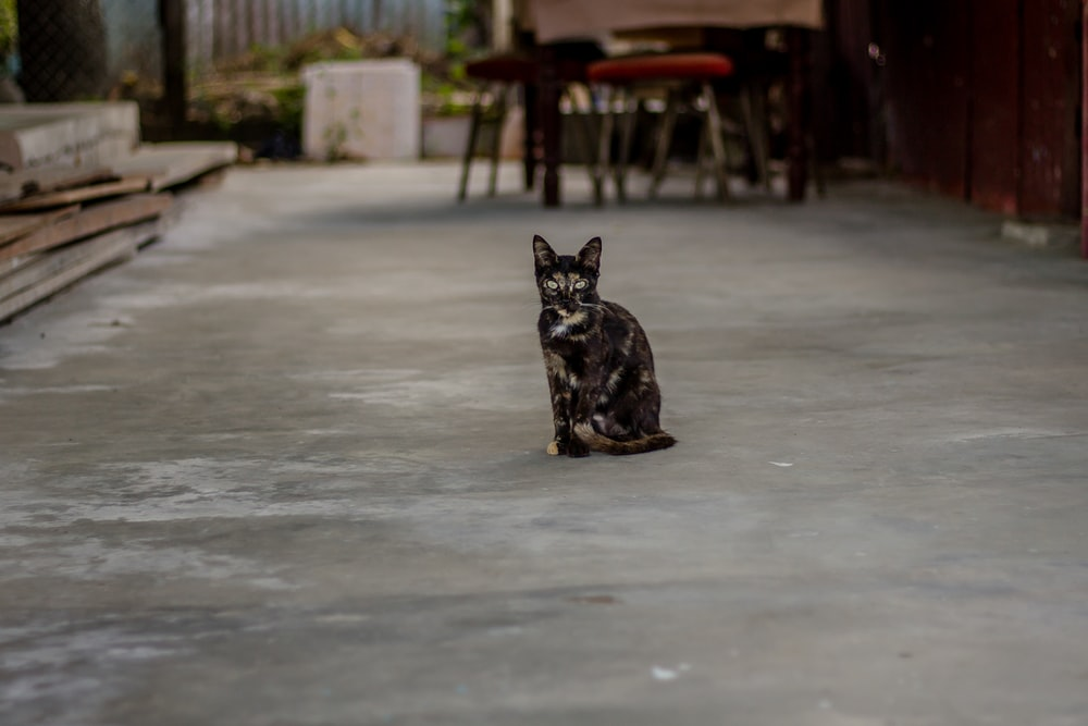 black and brown cat standing on gray pavement