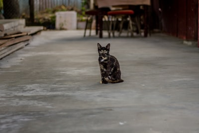 black and brown cat standing on gray pavement guyana zoom background