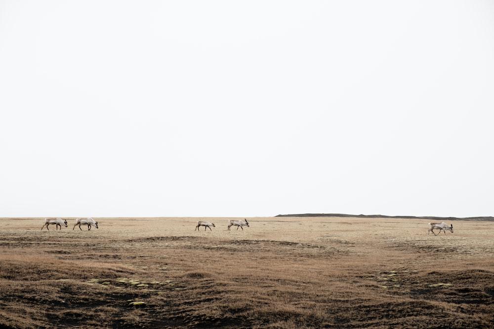 five animal walking on open field