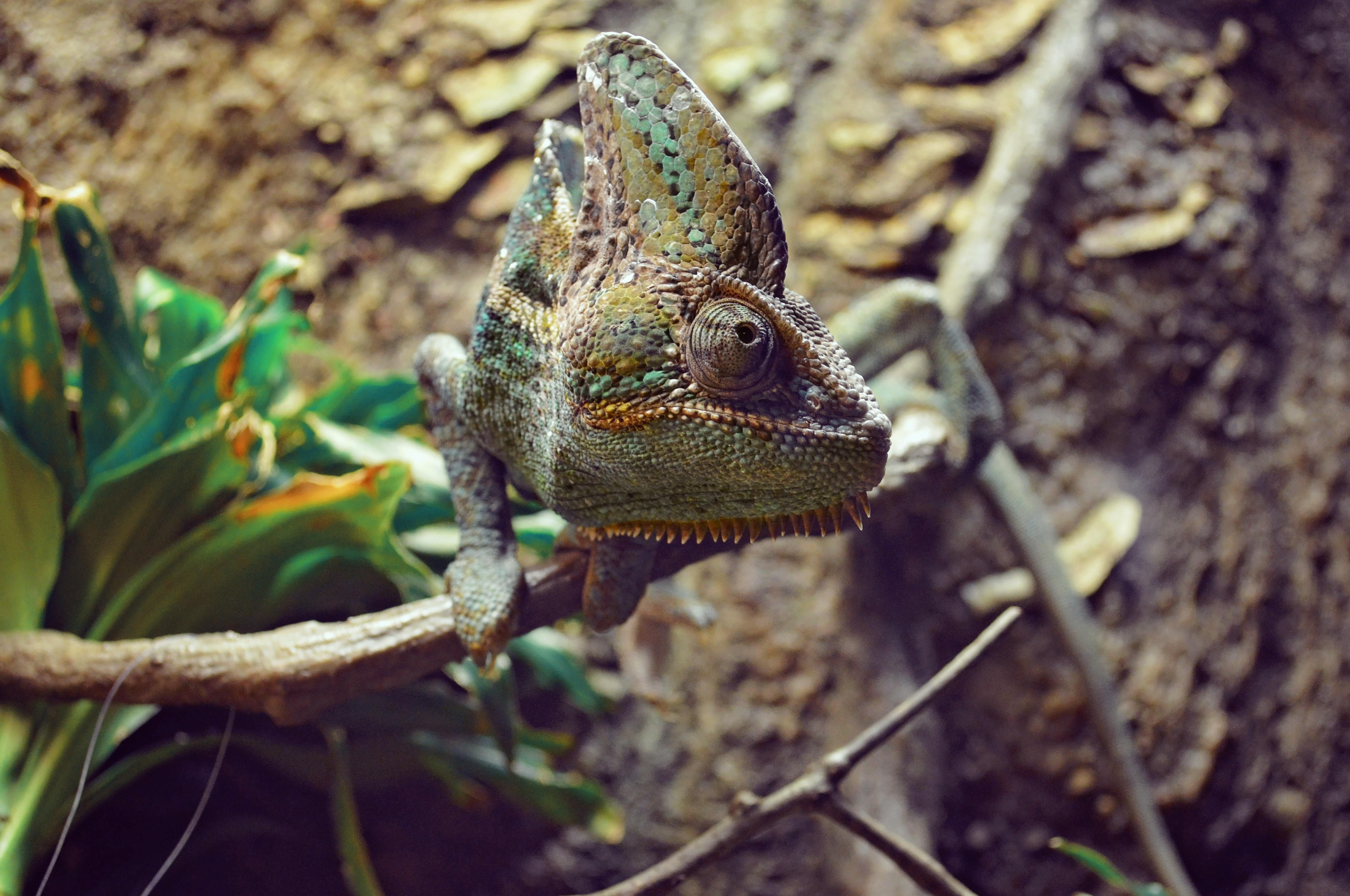 brown chameleon branch
