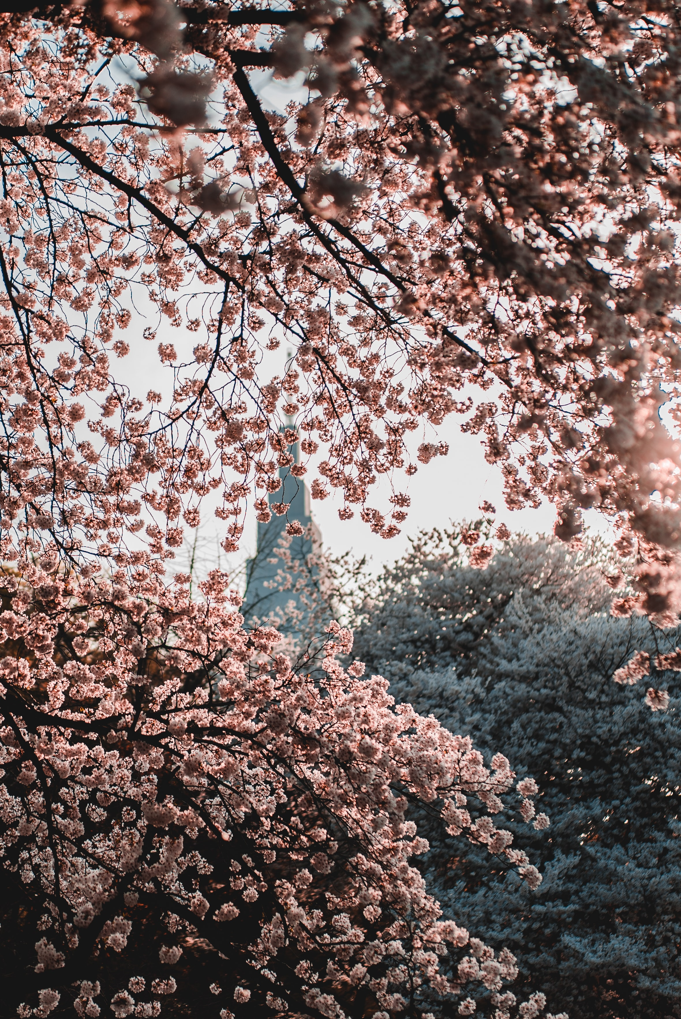 shallow-focus photography of pink flowers blooming during sunrise
