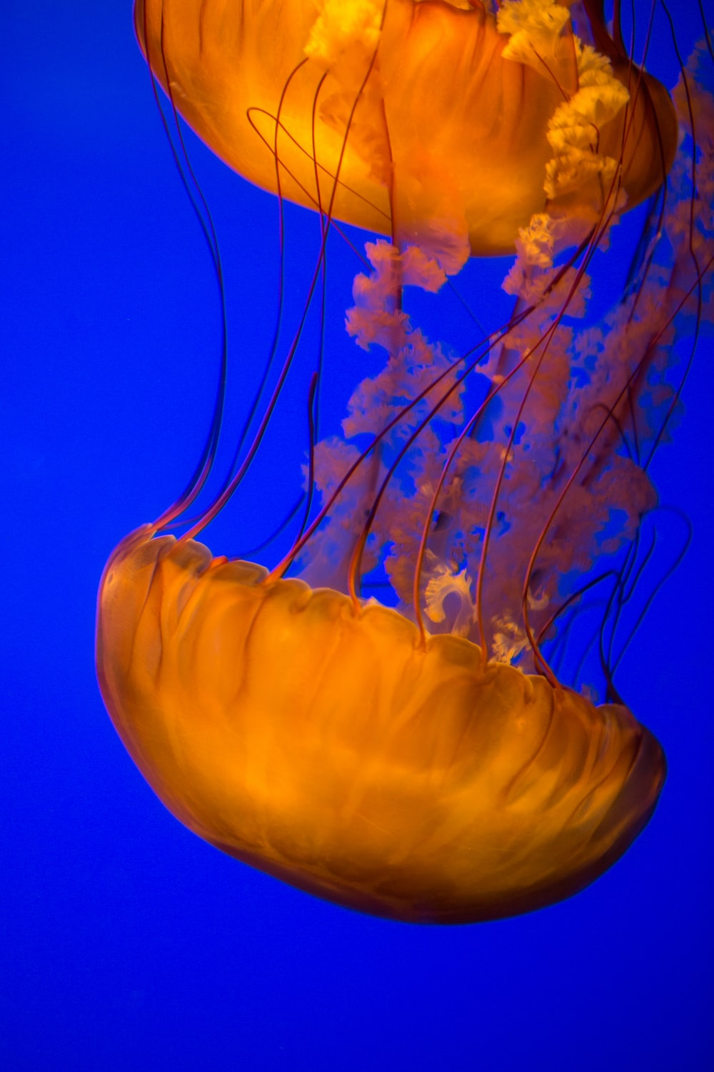 two brown jellyfish