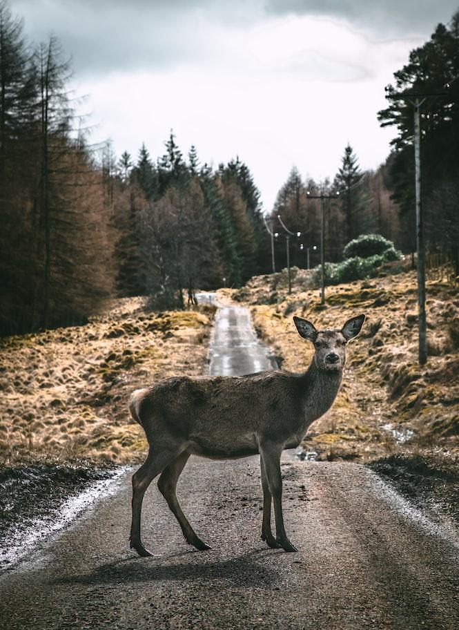 deer on road: deer auto accident