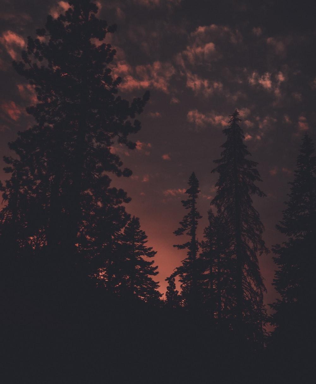silhouette photo of pine trees