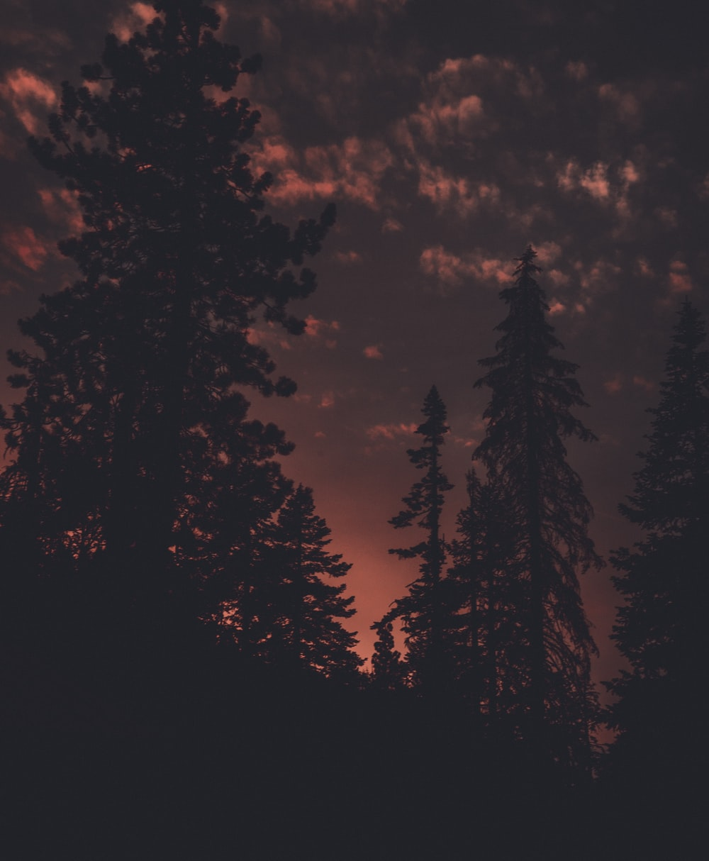 silhouette photo of pine trees