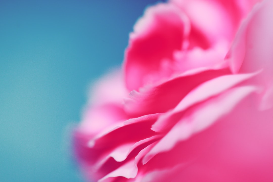 Close up of a pink carnation on a blue background makes a lovely wallpaper.