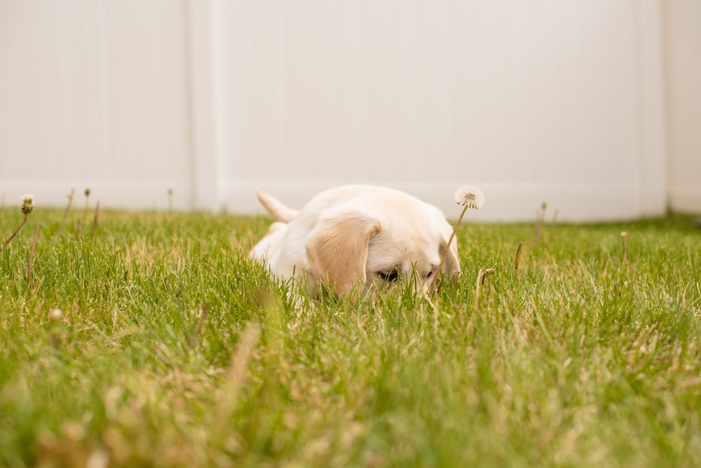 photo of short-coated white puppy lying on green grass during daytime