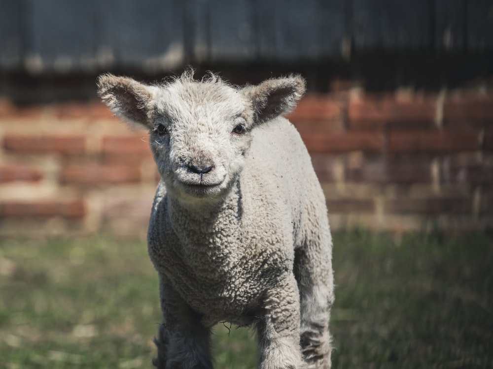 gray sheep near brick wall
