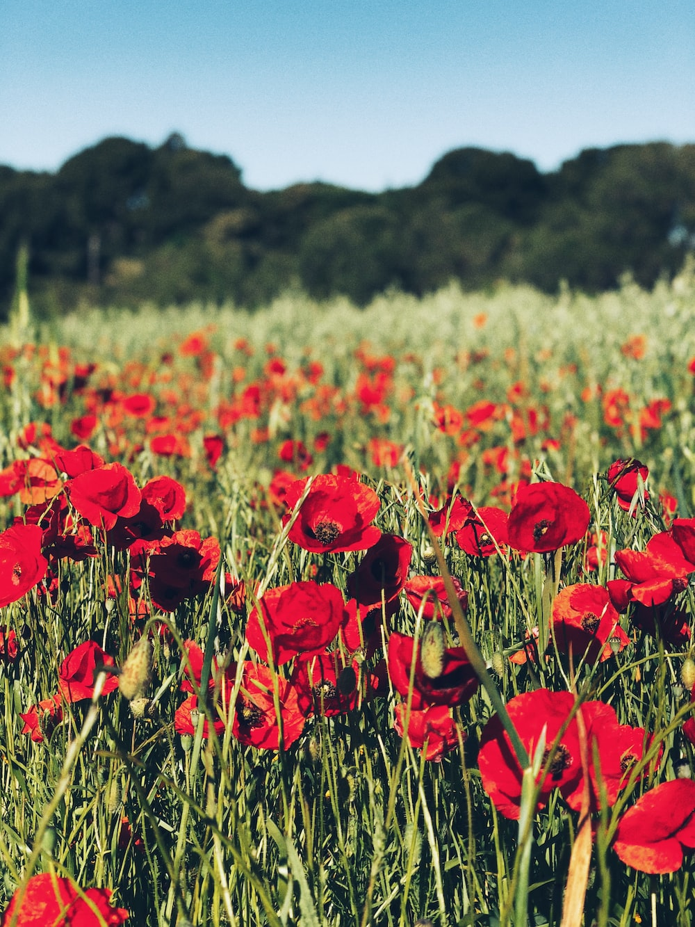 close up photo of red poppy flower field at daytime