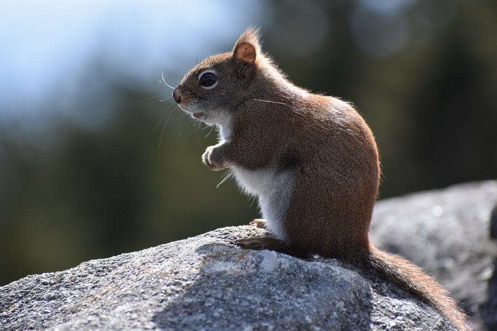 brown rodent on top of gray rock