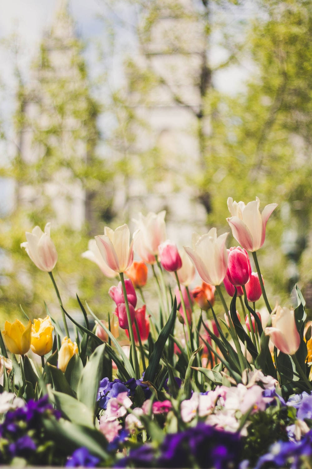 white, pink, yellow, and red tulips
