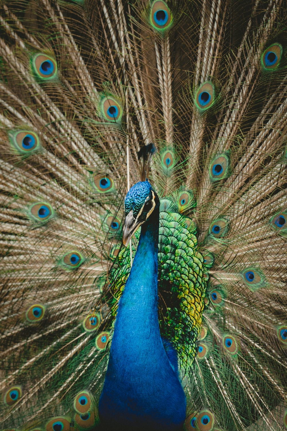 green and blue peacock spreading wings