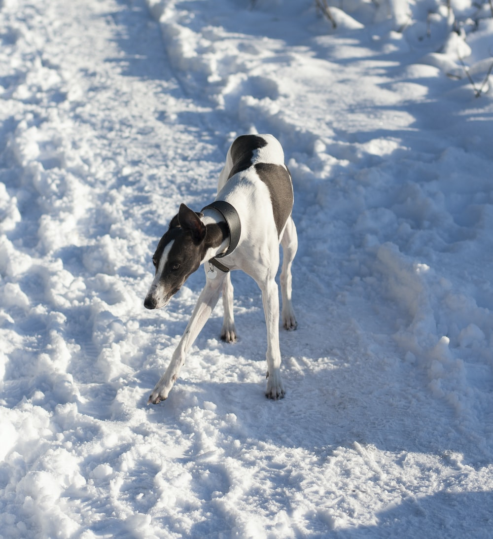 adult white and black greyhound standing on snow