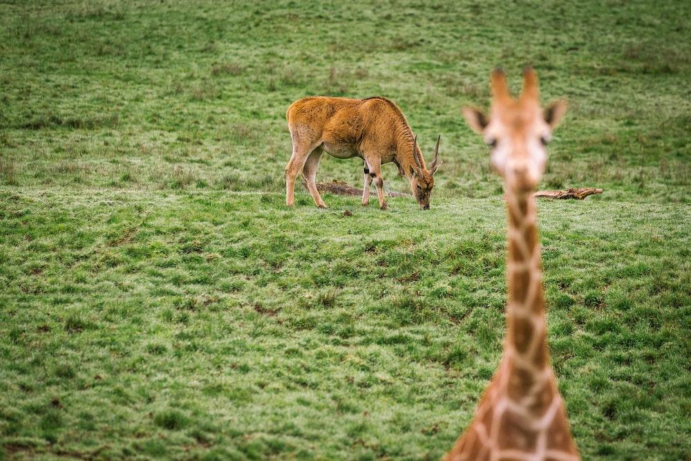 Giraffe on green grass field
