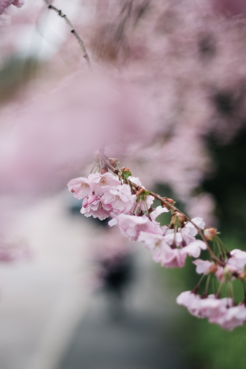 Portrait Cherry Blossom Woman And Flower Hd Photo By Victoria