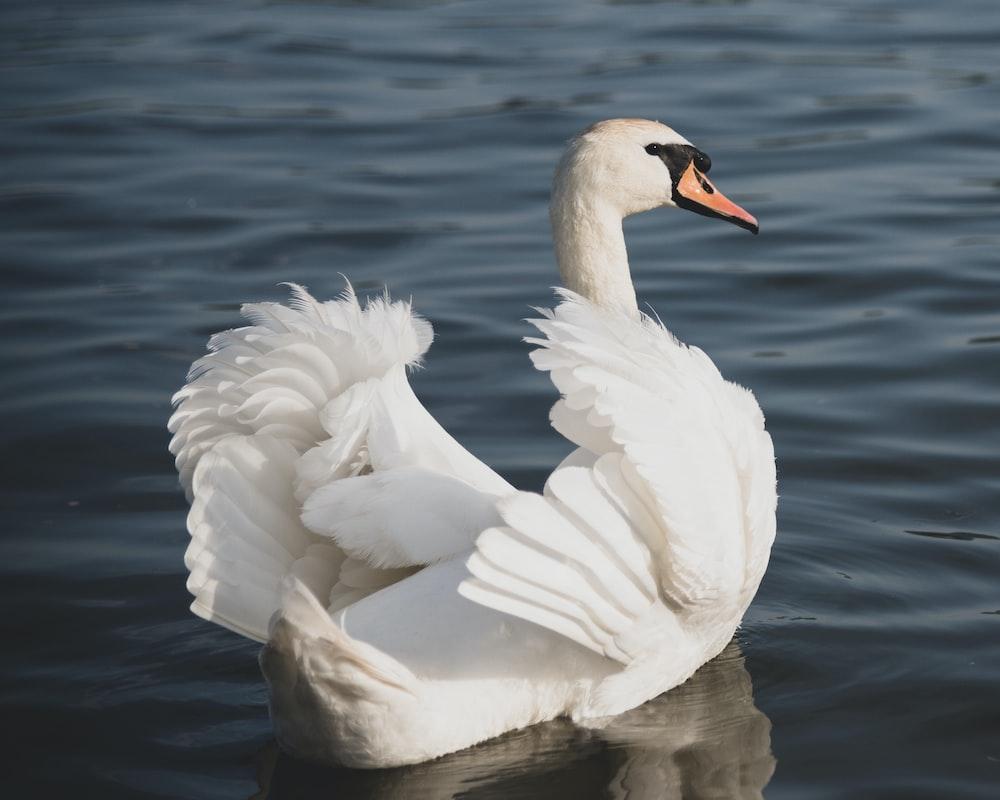 white and black swan swim on water