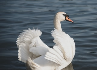 white and black swan swim on water