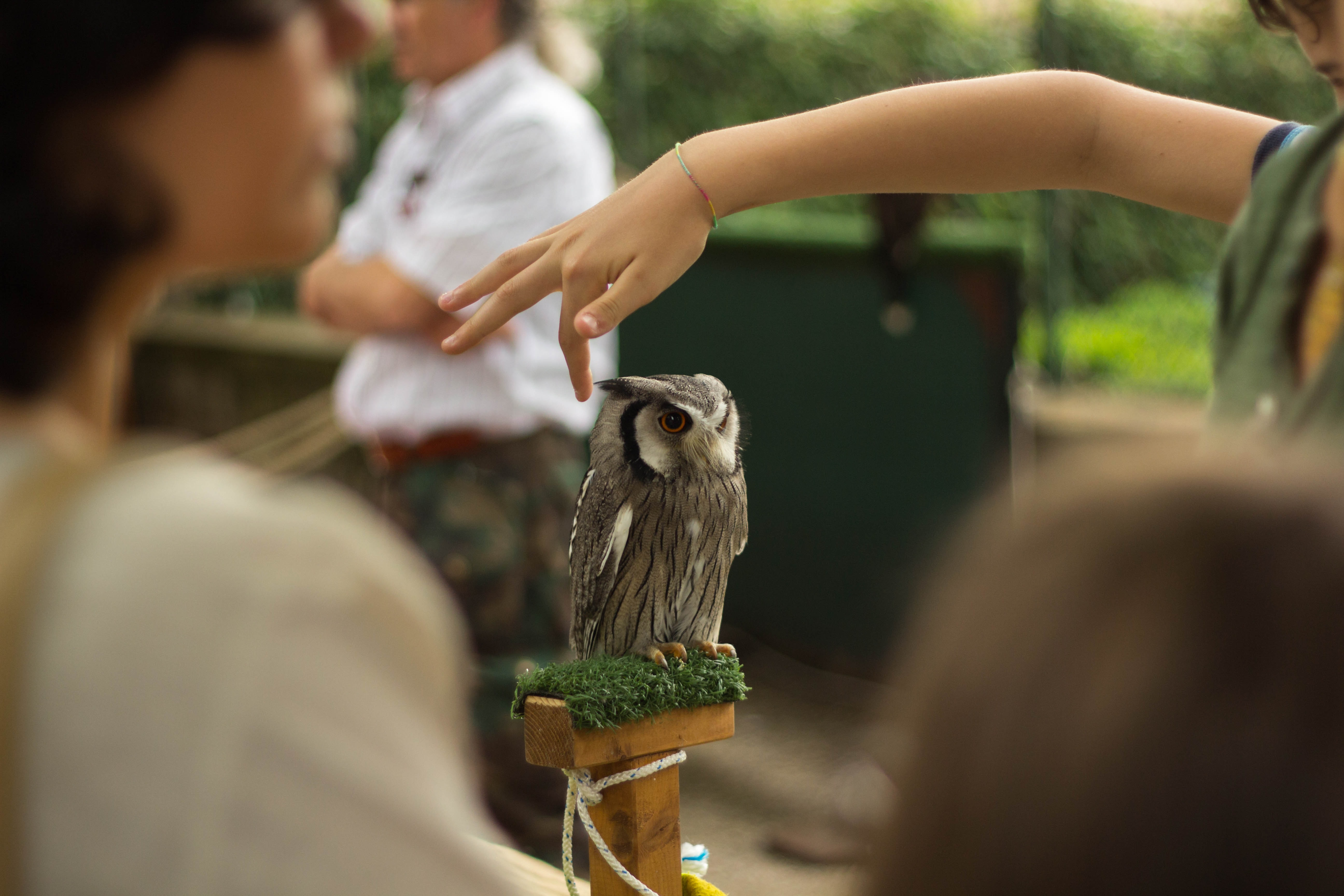 woman about to touch gray owl