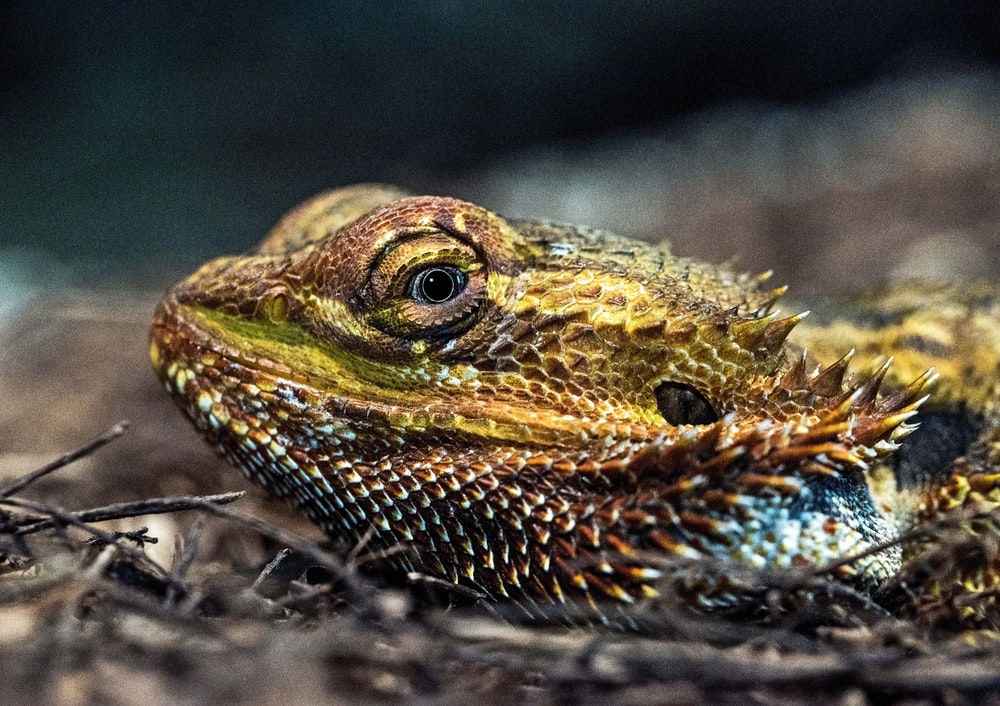 closeup view of bearded dragon