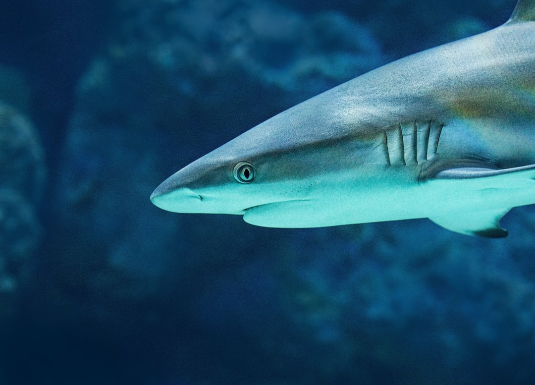 Close up of a Grey Reef Shark as it cruises past at the Cairns Aquarium.