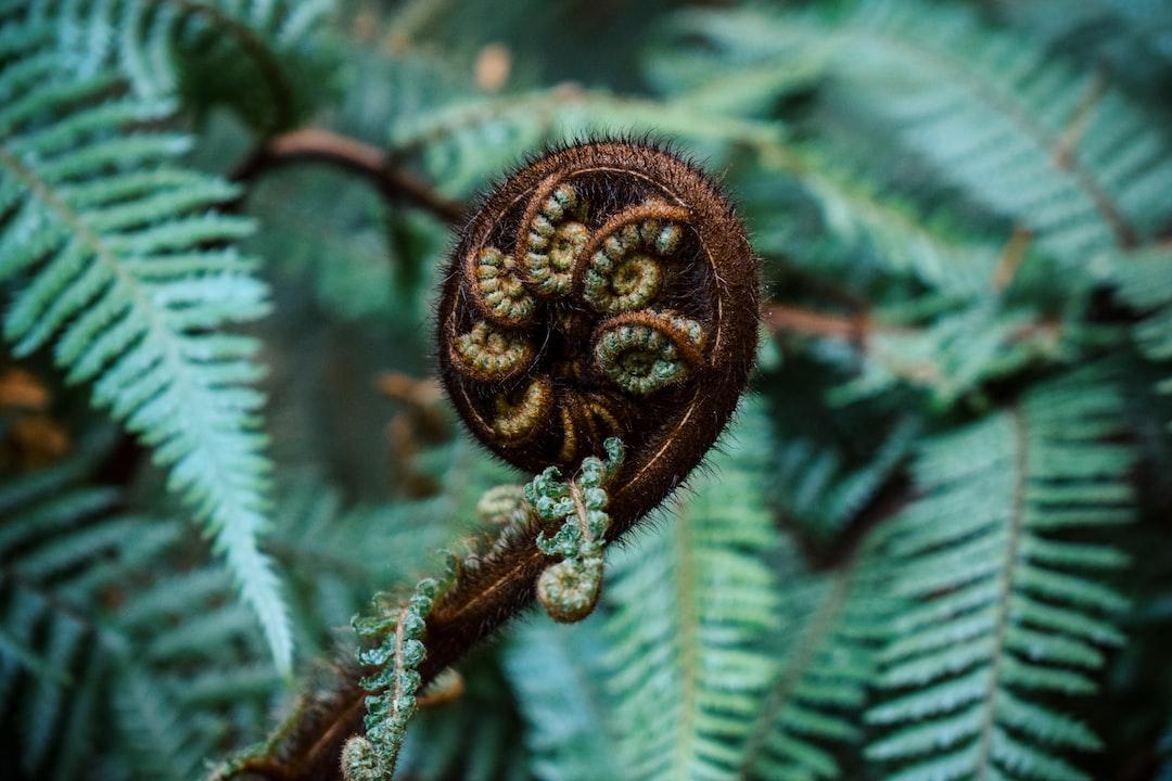 Fern leaf to be